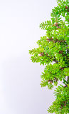 Bonsai on white background Stock Image