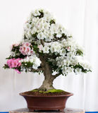 Bonsai with white flowers Stock Image