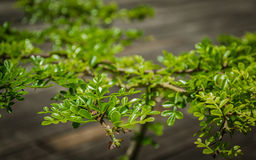 Bonsai on wooden background Royalty Free Stock Images