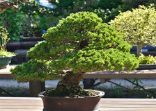Bonsai work of pine tree, Japan Royalty Free Stock Photography