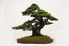 Bonsai of Yaccatree Royalty Free Stock Photo