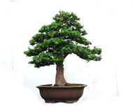 A bonsai of   Yaccatree Royalty Free Stock Images