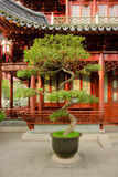 Bonsai at Yuyuan Gardens Royalty Free Stock Photo