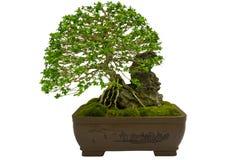 Bonsai zasadzają w garnku Zdjęcia Stock