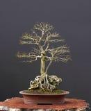 bonsaialmfält Arkivfoto
