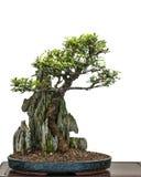 Bonsaialmträdet (Zelkove nire) växer över en vagga Royaltyfri Foto