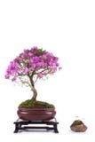 Bonsaiazaleajaponica Royaltyfria Bilder