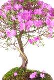 Bonsaiazaleajaponica Arkivfoton