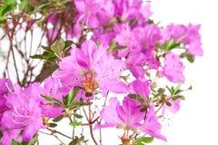 Bonsaiazaleajaponica Royaltyfria Foton