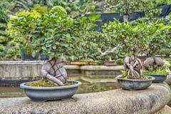Bonsaibäume stockbild