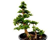 Bonsaibäume Lizenzfreie Stockfotos