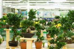 Bonsaibäume in den Töpfen lizenzfreies stockbild