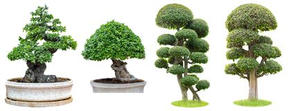 Bonsaibäume lokalisiert auf weißem Hintergrund Sein Strauch wird in einem Topf oder in einem dekorativen Baum im Garten gewachsen lizenzfreies stockfoto