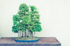 Bonsaibäume mit der Spalte, die Retro- Filter - Trident-Ahorn-Vorderteil tont Stockfoto