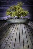 Bonsaibaum Stockbild