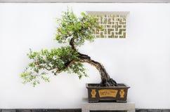 Bonsaibaum Stockfoto