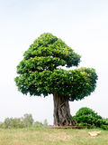 Bonsaibaum Lizenzfreies Stockbild