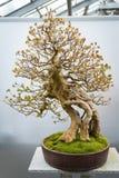 Bonsaibaum Acer Buergerianum Stockbild