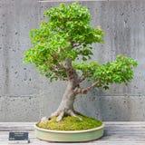 Bonsaibaum auf Anzeige Stockfotos