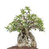 Bonsaibaum auf Weiß stockfotos