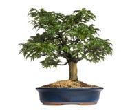 Bonsaibaum des japanischen Ahorns oder Shishigashira, Acer Palmatum Stockbilder