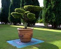 Bonsaibaum in einem großen Tongefäß stockfotografie