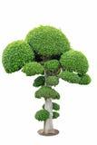 Bonsaibaum elegant auf weißem Hintergrund Lizenzfreie Stockfotografie