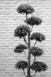 Bonsaibaum im grauen Ton Stockfoto