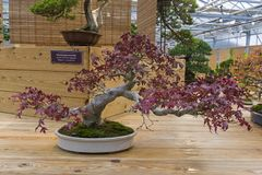 Bonsaibaum - japanischer Ahorn Lizenzfreie Stockfotografie