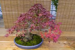 Bonsaibaum - japanischer Ahorn Stockfotografie