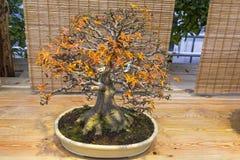 Bonsaibaum - japanischer Ahorn Stockfotos