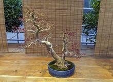 Bonsaibaum - japanischer Ahorn Stockfoto