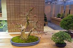 Bonsaibaum - japanischer Ahorn Lizenzfreie Stockbilder