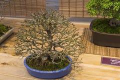 Bonsaibaum - Trident-Ahorn Lizenzfreie Stockfotografie
