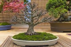 Bonsaibaum - Trident-Ahorn Stockfotos