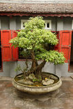 Bonsaibaum in Vietnam Lizenzfreies Stockbild