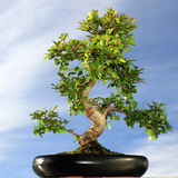Bonsaiboom Royalty-vrije Stock Foto