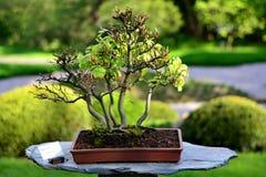 Bonsaiboom Stock Afbeelding