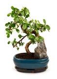 Bonsaiboom in blauwe pot Royalty-vrije Stock Fotografie