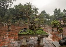 Bonsaiboom in de Pagode van Thien Mu in Tint, Vietnam stock afbeeldingen