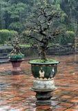 Bonsaiboom in de Pagode van Thien Mu in Tint, Vietnam royalty-vrije stock afbeeldingen