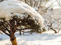 Bonsaiboom in het park van Tokyo in sneeuw wordt behandeld die Stock Foto
