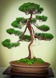 Bonsaiboom met tweekleurige boomstam Royalty-vrije Stock Afbeeldingen