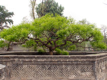 Bonsaiboom in steen sierlabyrint Royalty-vrije Stock Foto's