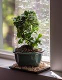 Bonsaiboom tegen venster stock afbeelding
