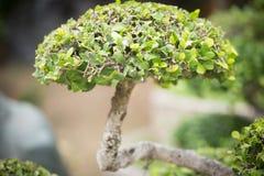 Bonsaibuske Grönt träd i en parkera Arkivfoto