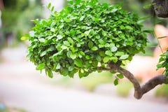 Bonsaibuske Grönt träd i en parkera I sommaren Arkivfoton