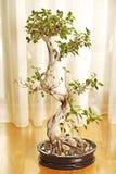 Bonsaiinstallatie Royalty-vrije Stock Foto's