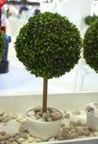 Bonsaiinstallatie Stock Foto