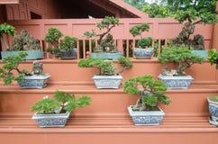 Bonsaiinstallaties in pot Stock Afbeelding